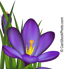 Crocus, Spring Flowers, Isolated On White Background, Vector...