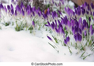 Crocus in snow 01