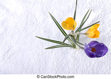 Crocus in Snow Purple and Yellow