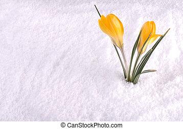 Crocus in Snow Yellow