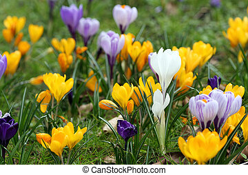 Crocus in spring - Details of a group of blossoming crocuses...