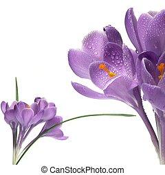 crocus isolated on white - crocus, spring purple flower...