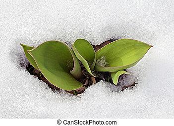 Crocus leaves in the snow