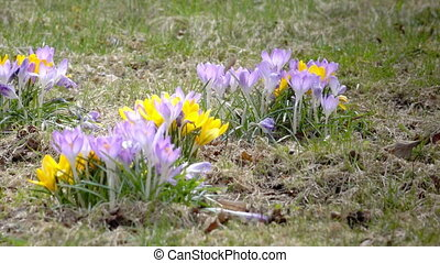Crocus on a glade in sunny spring day.