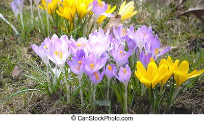Crocus on a glade in sunny spring day