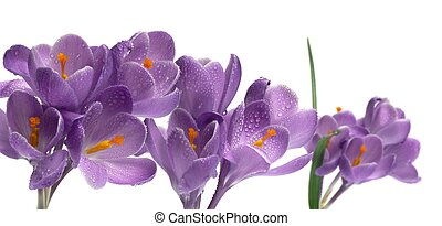 crocus on white backgroun - crocus, spring purple flower...