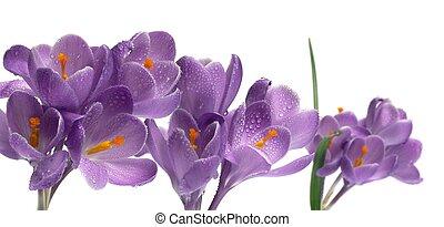 Crocus isolated on white crocus spring purple flower isolated on crocus on white backgroun crocus spring purple flower isolated on white background mightylinksfo
