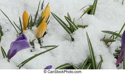 Crocus purple yellow flowers - Spring primroses appeared...