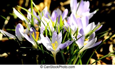 Crocus, spring flower of Germany