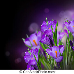 Crocus Spring Flowers Design over Black