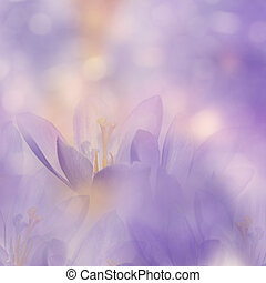 Crocus Spring Flowers for background, soft focus