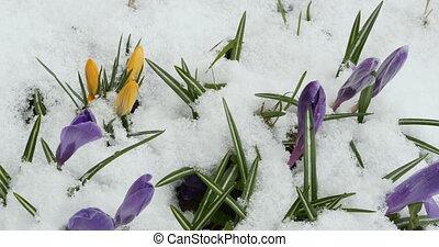 Crocus spring flowers under white snow panorama