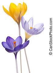 crocus - Studio Shot of Blue and Yellow Colored Crocus...