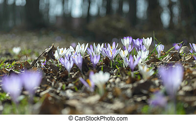 Crocus - Wilde, spring purple crocus flowers in forest.