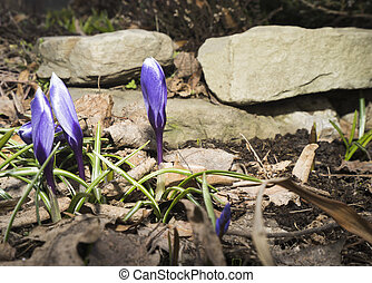 Crocuses blossoming in the spring garden.