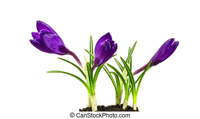 Crocuses blossoming. Time lapse.