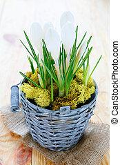 crocuses in a pot