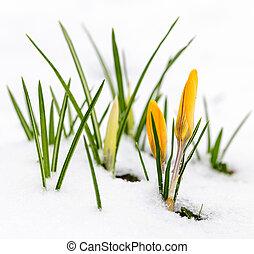 Crocuses in snow - Yellow crocus flowers growing in snow ...