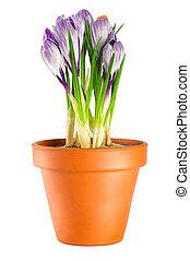 Blooming violet crocuses in terracotta flower pot on white background
