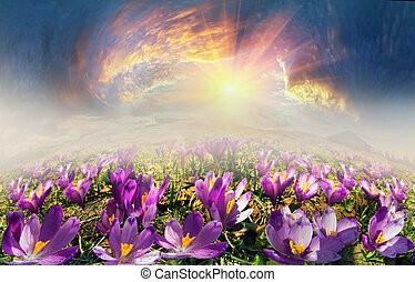 Crocuses in the mountains - In May, the snow melts and the ...