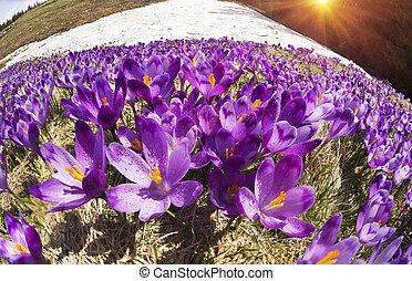 Crocuses - snowy flowers of spring