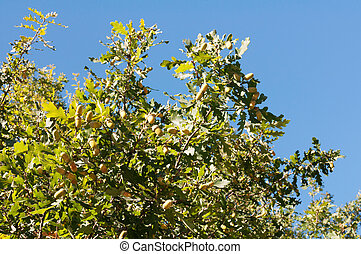 Crohn's oak