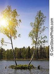 croissant, île, rue., deux, arbres, lake., milieu, gatchina, bouleau, petit, petersburg, russie, forêt