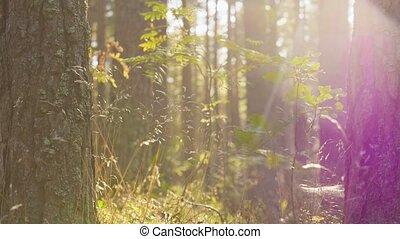 croissant, arbres pin, conifère, forêt