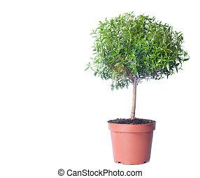 croissant, arrière-plan., petit arbre, blanc