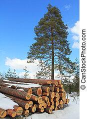 croissant, bois, arbre, pin