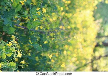croissant, fleur, celandine