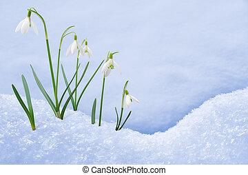 croissant, fleurs, groupe, neige, perce-neige