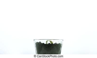 croissant, petit, plante, blanc vert