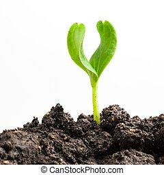 croissant, plante, vert
