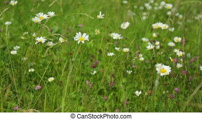 croissant, pré, wildflowers, herbe