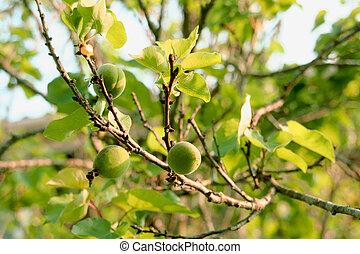 croissant, printemps, soleil, branche, abricots