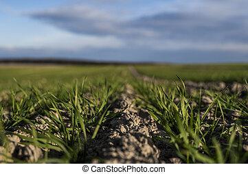 croissant, proces., sky., jeune, jour, seedlings, rye., haut...