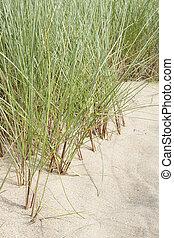 croissant, sable, herbe, marram, dune