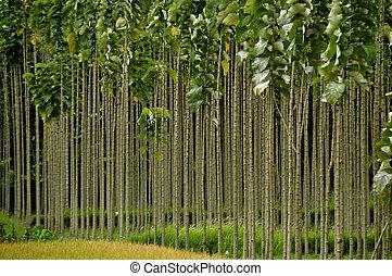 croissant, teak, rangées, arbres