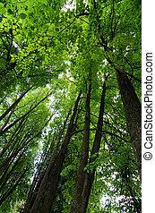 crone, von, bäume, in, wald