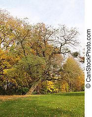 crooked acacia tree