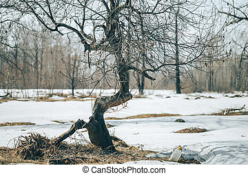 crooked broken tree in the forest, near snow, spring time, ...