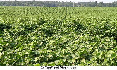 Green crop grows in an agricultural area.