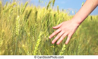 Crop hand touching cereal grass - Hand of anonymous female...