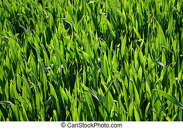 Detail from wheat crop field, bright sunlight creating pleasing pattern of green shades