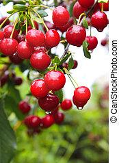 Crop of cherries - Ripe red cherries. Summer time