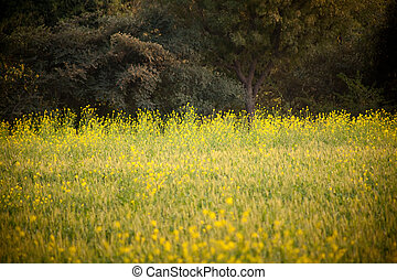 Crop of mustard seed in india