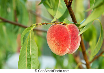 crop of peaches