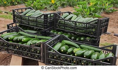 Closeup of freshly harvested green zucchini in plastic boxes on plantation on spring day
