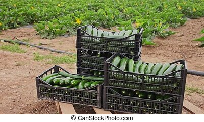 Closeup of freshly harvested green courgettes in plastic boxes on plantation on spring day on background with farmworkers